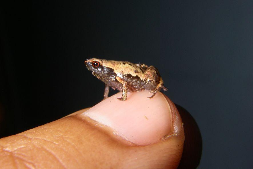 Um macho adulto de Mini mum, um dos menores sapos do mundo, repousa em uma unha com espaço de sobra.