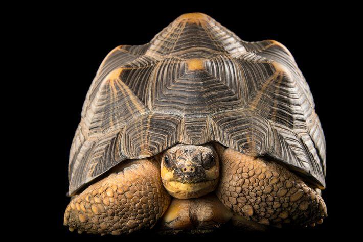 As tartarugas radiadas—espécie popular como bicho de estimação em Hong Kong, China e em outros locais—estão ...