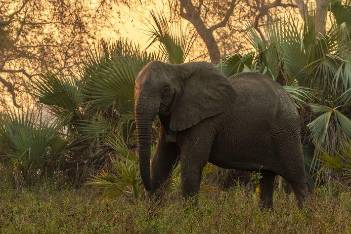 Uma fêmea adulta sem presas no Parque Nacional Gorongosa recebeu um colar de GPS para que ...