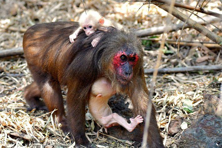 A mãe dos gêmeos carrega um filhote nos braços enquanto o outro se equilibra em suas ...