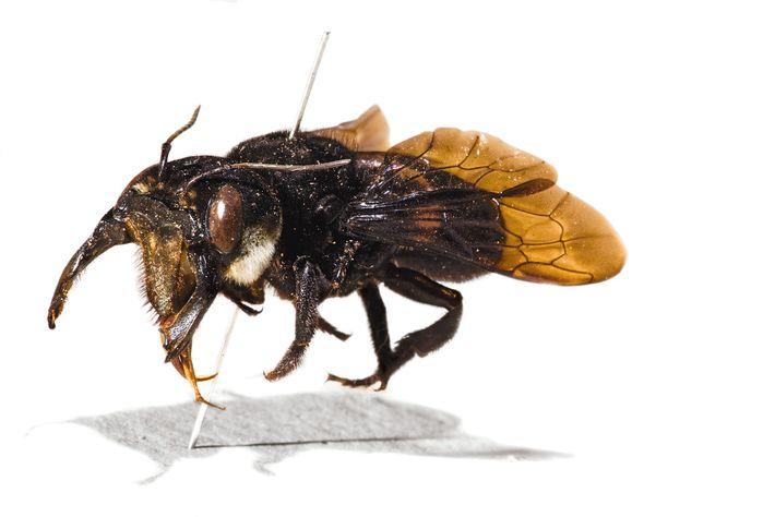 Exemplar original de abelha-gigante-de-Wallace, coletado por Alfred Russel Wallace.
