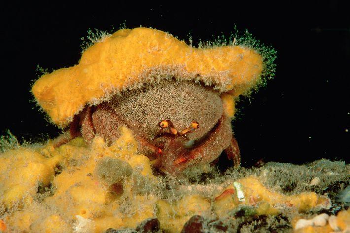 Um caranguejo-esponja com cerdas na Austrália do Sul utiliza uma esponja como disfarce. Os caranguejos-esponja moldam ...