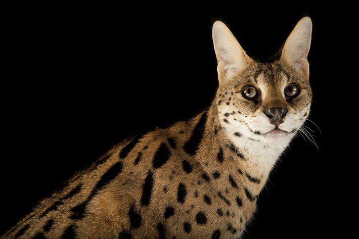 leoes-bolas-de-pelo-grandes-felinos-gatos-serval