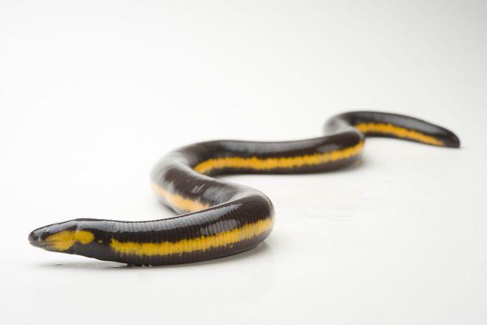 A cobra-cega mãe desenvolve uma camada de pele especial que é a primeira refeição de sua ...