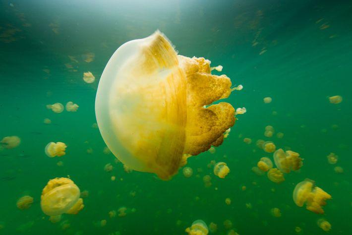 Águas-vivas douradas seguem o sol todos os dias pelo Lago das Águas-Vivas, lago de água salgada ...