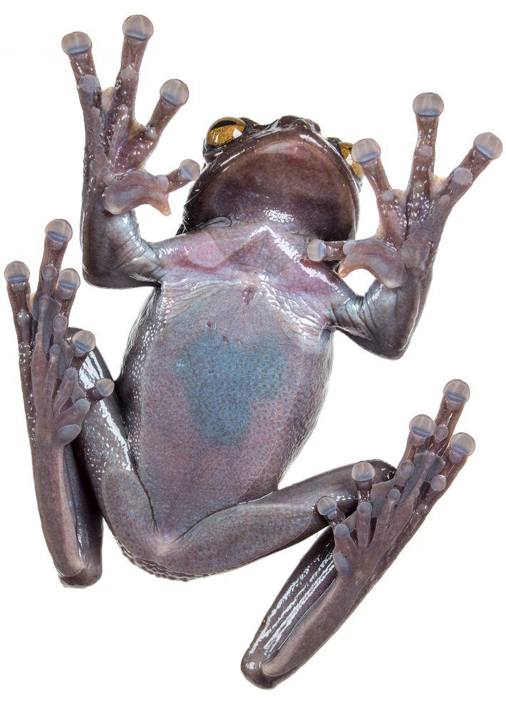 A estranha garra extra encontrada nos machos e fêmeas de H. hillisi é provavelmente utilizada como ...