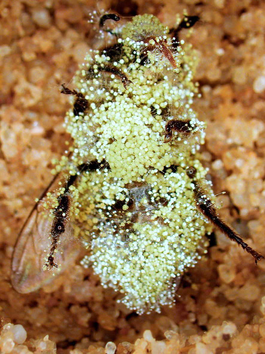 """O mofo pode se desenvolver em abelhas enterradas, como mostrado nessa foto, mas se uma vespa """"lobo das abelhas"""" põe seu ovo em uma delas, pode emitir um gás nocivo que mata os fungos."""