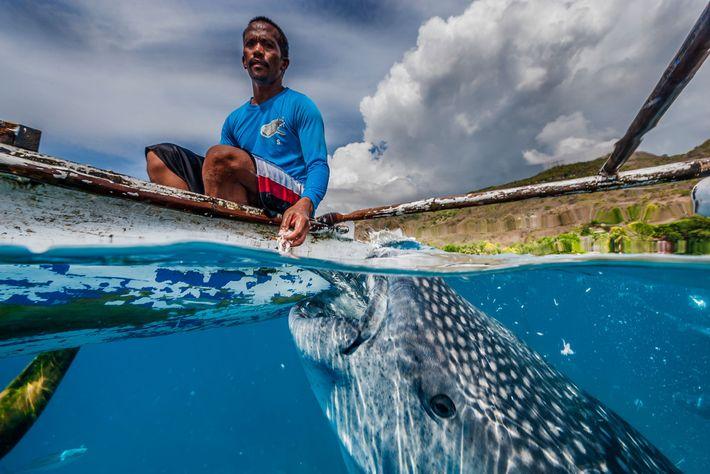 Quase todos os tubarões-baleia que visitam Oslob são machos jovens. A maioria são apenas visitantes temporários, ...