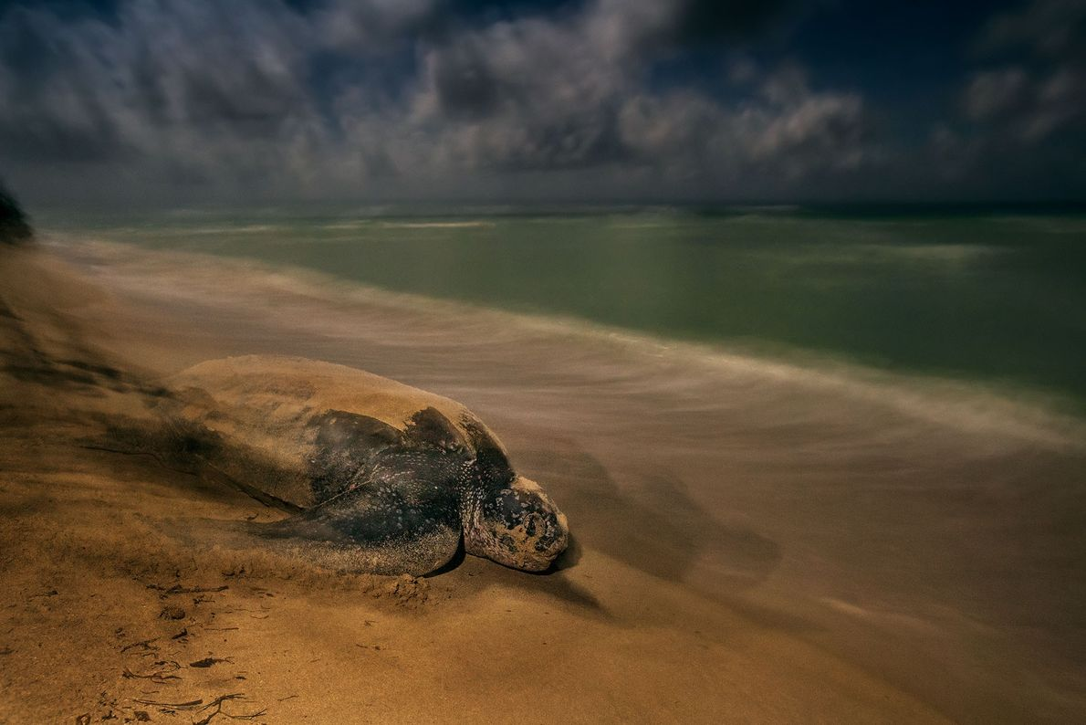 A leatherback sea turtle leaves the beach where she laid her eggs at Sandy Point National ...
