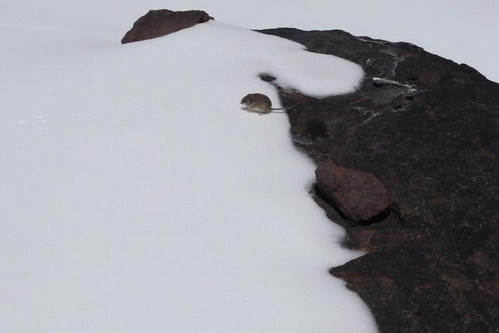 Um camundongo da espécie Phyllotis xanthopygus, avistado por Matt Farson em 22 de janeiro de 2013, ...