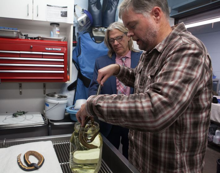 The sea snake will be a specimen for future study at the Natural History Museum of ...