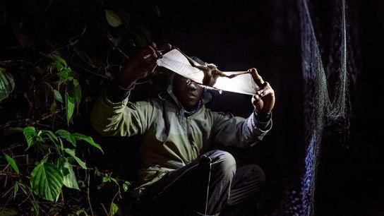 Um pesquisador do Monte Morungole, em Uganda, examina um morcego em busca de sinais de malária, ...