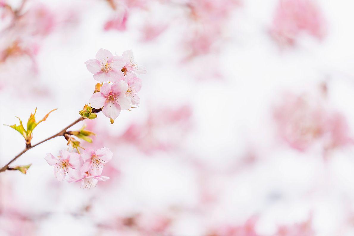 Delicadas e passageiras, as flores de cerejeira aparecem cerca de duas semanas após o brotamento. Embora ...
