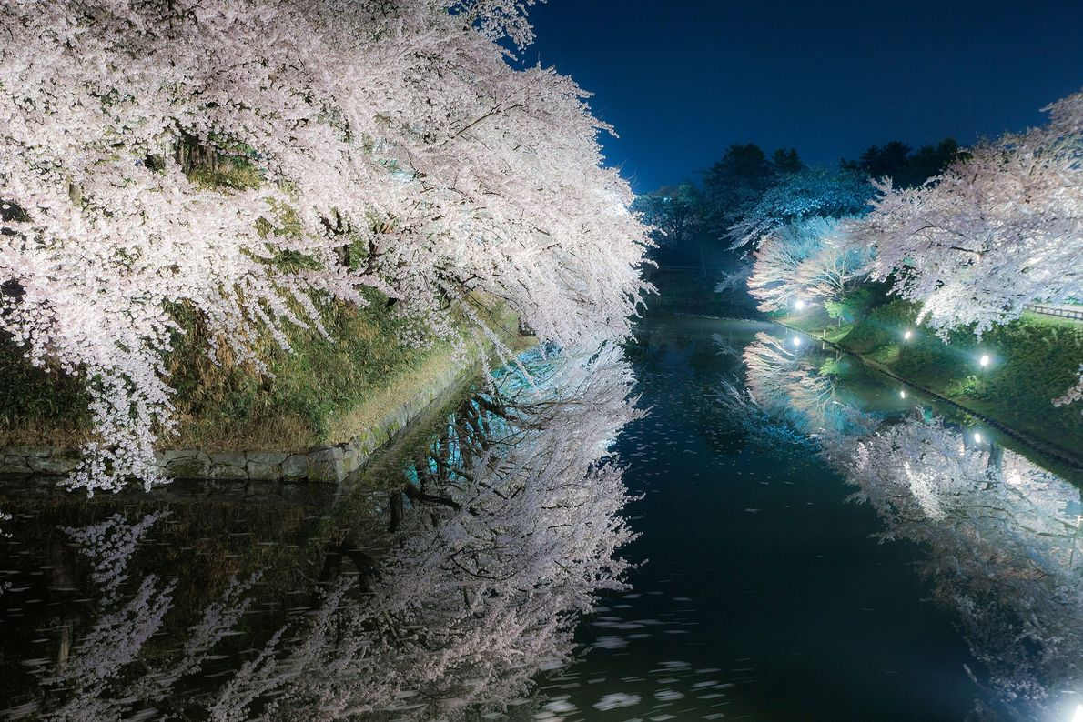 Com o pôr-do-sol, o hanami vira yozakura. As cerejeiras ficam iluminadas por lanternas, criando um tom ...