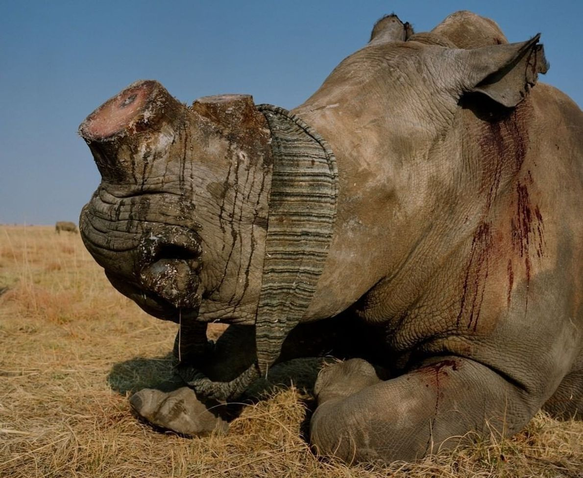 """""""Um rinoceronte-branco tem seu chifre removido em uma fazenda de animais em Klerksdorp, África do Sul. ..."""