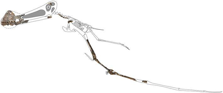 Esta reconstrução do esqueleto do Ferrodraco mostra os ossos fossilizados preservados em três dimensões encontrados recentemente. ...
