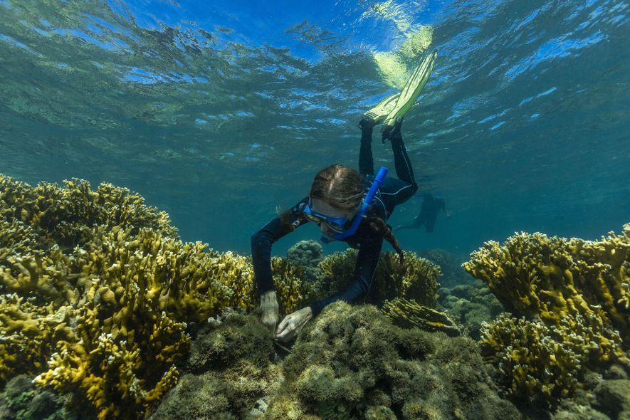 Beatrice mergulha em apneia para analisar os recifes de coral na Área de Proteção Ambiental da ...