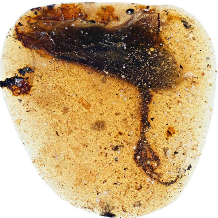 O pé da nova espécie de enantiornithine foi encontrado em um pedaço de âmbar birmanês.