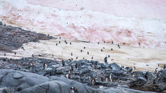 Fotos: Micróbios misteriosos tornam o gelo polar cor-de-rosa