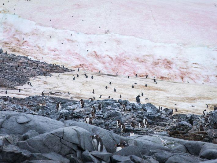 Pinguins-gentoo abrem caminho de e para seus ninhos em Port Charcot, Antártida.