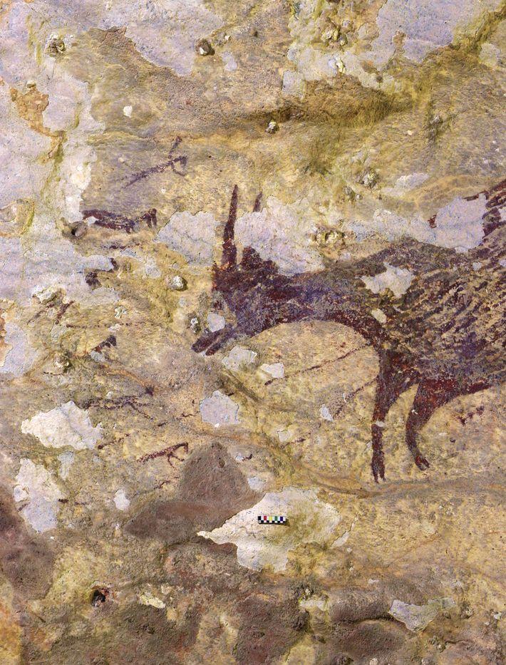 Seis imagens pequenas cercam a cabeça de um búfalo-anão, um parente menor do búfalo-asiático, em parte ...