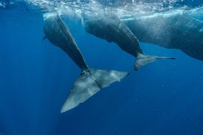 Digit (esquerda) nada com o filhote Corkscrew e sua mãe Canopener. A baleia adulta parece sempre ...