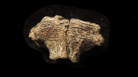 Vestígios de DNA fóssil encontrados em crânio de dinossauro