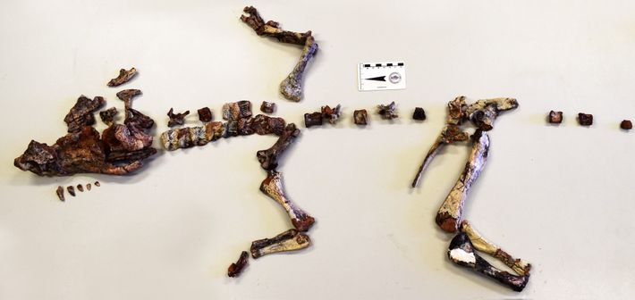 Este esqueleto de Dynamosuchus collisensi foi descoberto perto de Porto Alegre, Rio Grande do Sul.