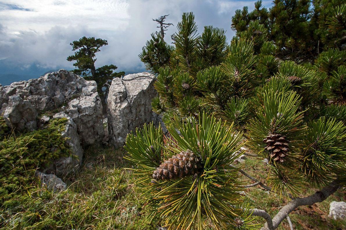 O Parque Pollino também é o lar desses pinheiros da Bósnia. As coníferas estão entre ...