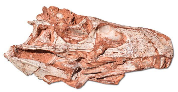 O crânio do fóssil do Gnathovorax foi descoberto no município de São João do Polêsine, no ...