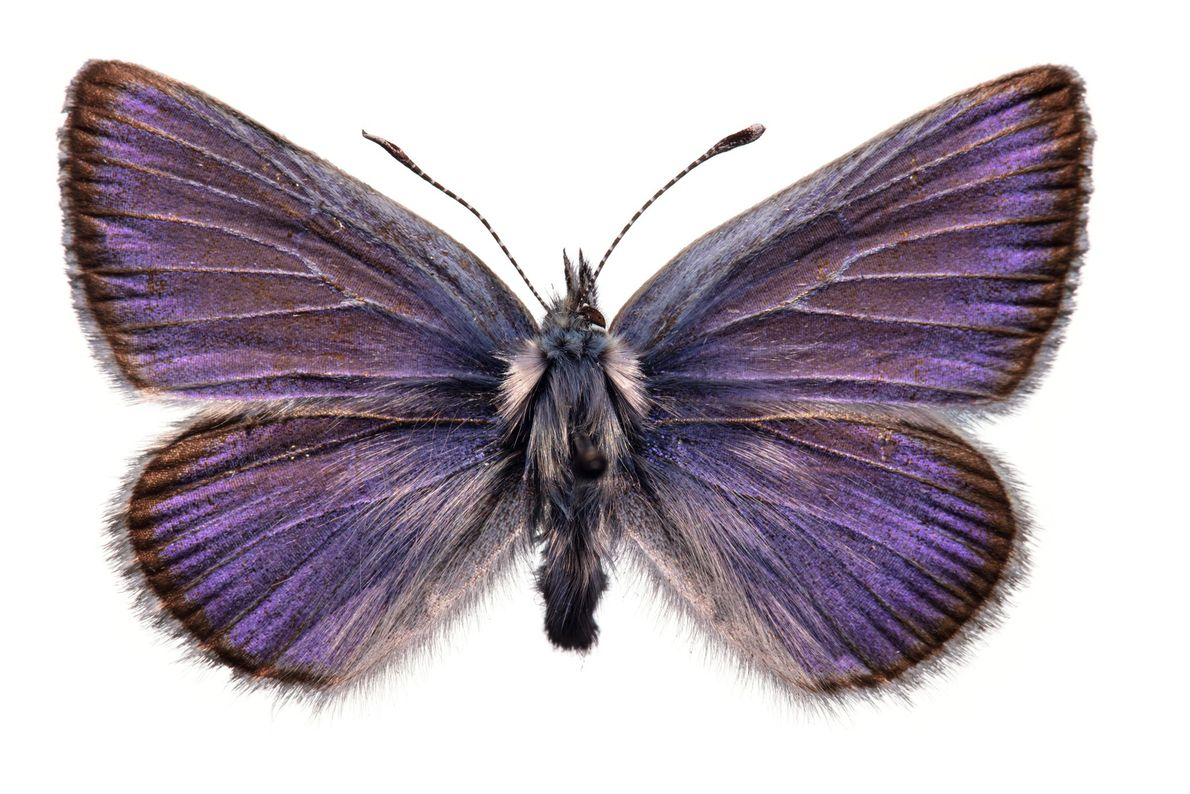 A extinção da borboleta azul da espécie Glaucopsyche xerces de 2,5 centímetros de largura, vista pela ...