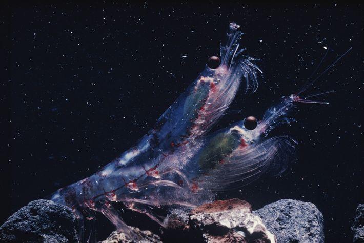 O krill é a base da cadeia alimentar e alimenta muitos animais marinhos, de focas a ...
