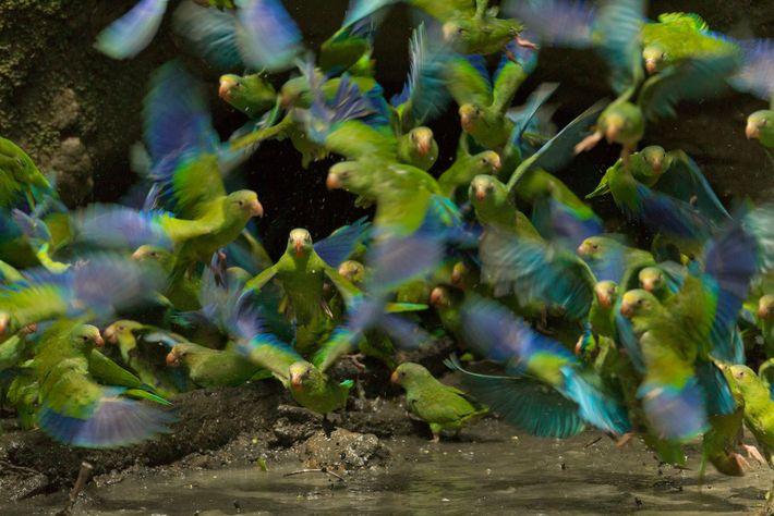 Periquitos-de-asa-azul agrupam-se em um lago para alimentarem-se de argila no Parque Nacional Yasuní.