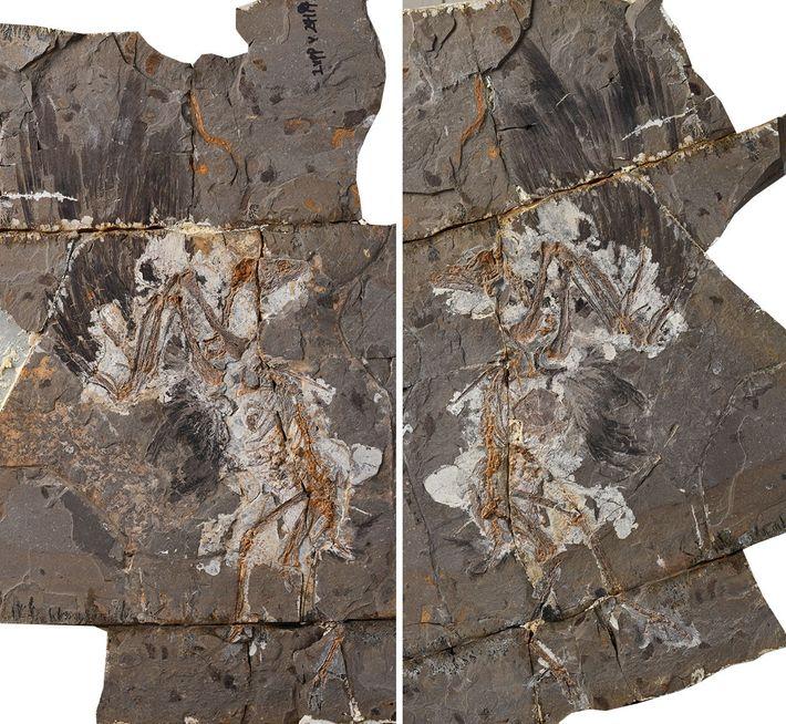 O fóssil do pássaro do Cretáceo Jinguofortis perplexus.