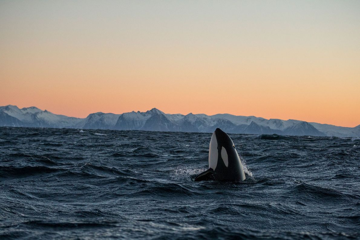 orca_baleia-assassina-noruega-galeria-de-fotos