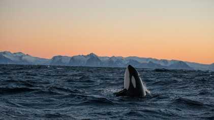 13 fotos incríveis de orcas – a maior espécie da família dos golfinhos