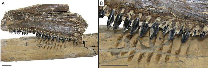 Uma imagem do osso de Pteranodonte pareado com as mandíbulas de fóssil do antigo peixe ósseo ...