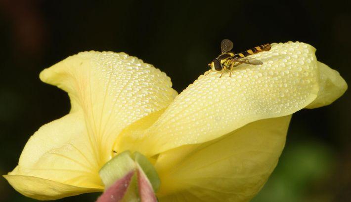 Uma mosca-das-flores marrom e amarela pousa em uma prímula-da-noite coberta de orvalho no Reino Unido.