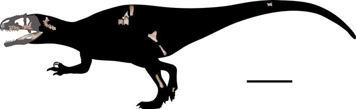 Pesquisadores reconstruíram em escala o esqueleto do Siamraptor suwati com os 22 fósseis recém-encontrados. A linha ...