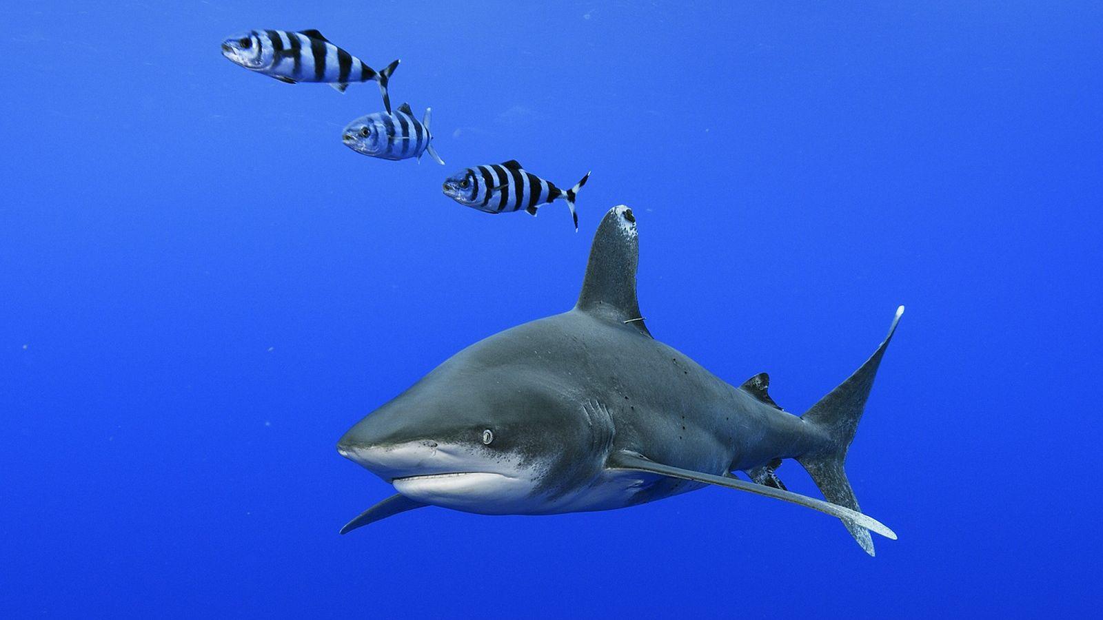 tubarão-galha-branca-oceânico nada próximo às ilhas Cat, nas Bahamas.