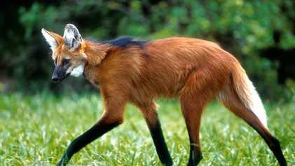 Entre veículos e plantações, lobo-guará luta para sobreviver no que resta do Cerrado