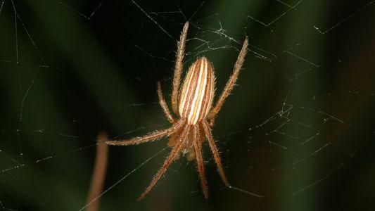 Saiba porque esta aranha macho destrói a genitália da fêmea depois do sexo