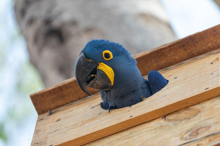 Arara-azul desponta de dentro de uma caixa-ninho instalada pela equipe do Instituto Arara-azul no Pantanal. As cavidades artificiais idealizadas por Neiva Guedes trouxeram um incremento importante para a população de araras na região.