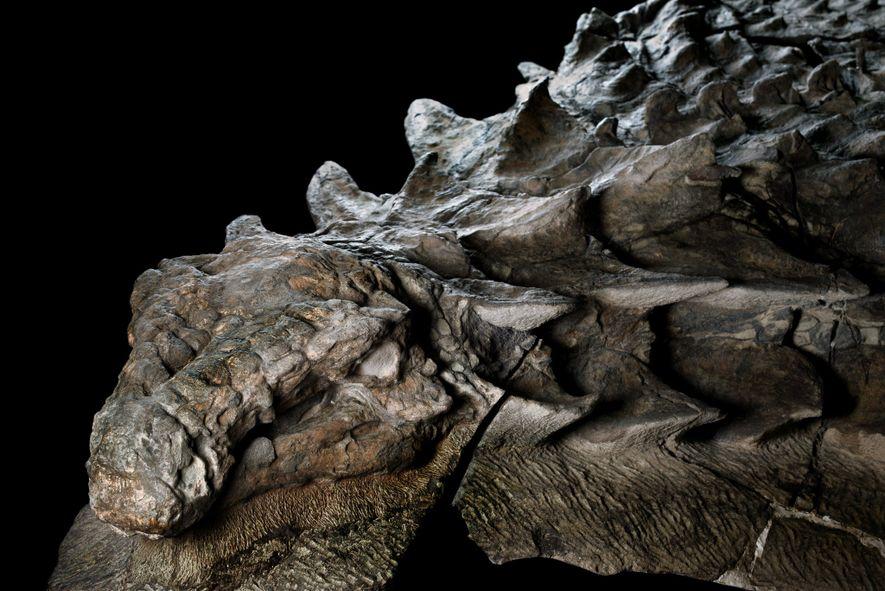 Lado direito da cabeça do nodossauro. Imagem feita no Museu Real Tyrrell, em Alberta, Canadá. A ...