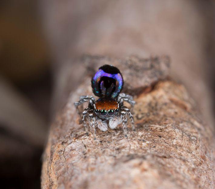 Aranhas-pavão, como as dessa espécie Maratus robinsoni, são lindas e totalmente inofensivas.