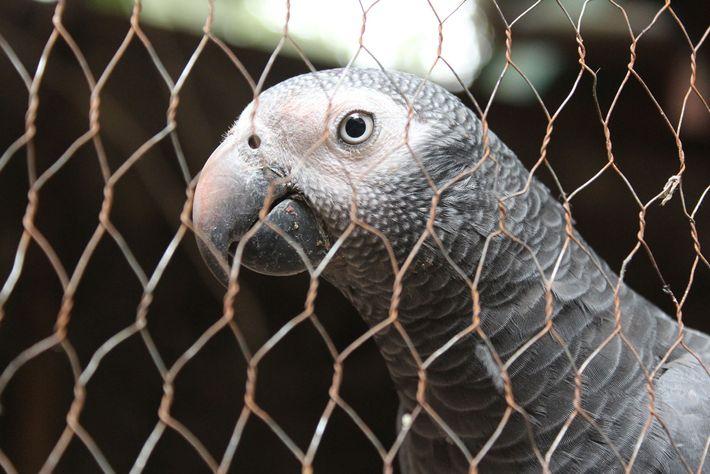 Um papagaio Timneh selvagem apreendido do comércio ilegal em Serra Leoa. O animal está sendo tratado ...