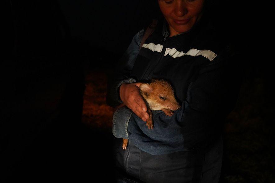 A veterinária Fabiola Suárez segura um porco-do-mato órfão no centro de resgate e reabilitação em Aguas ...