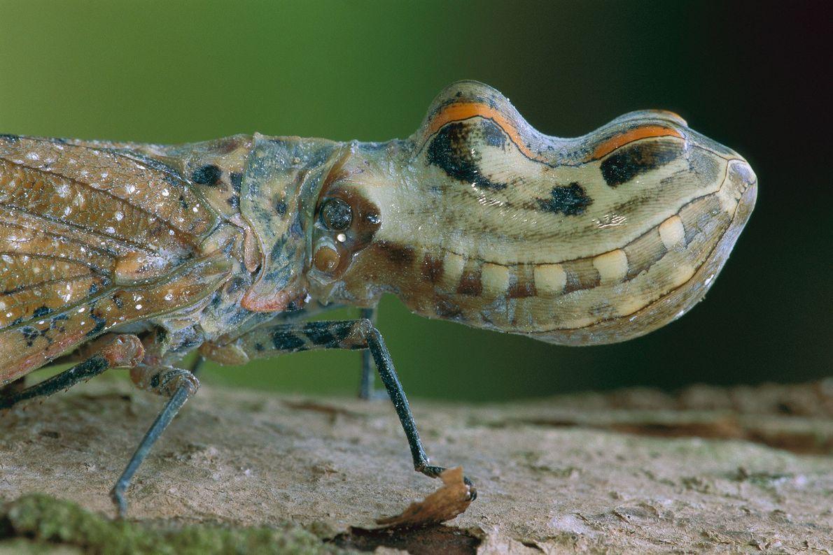 Jequitiranaboia: Também conhecida como cobra-voadora, ela possui uma grande estrutura oca sobre sua cabeça que se ...