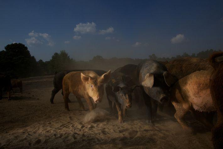 Porcos domésticos das raças tradicionais em Colúmbia, EUA.Carolina do Sul. Porcos foram identificados como um dos ...