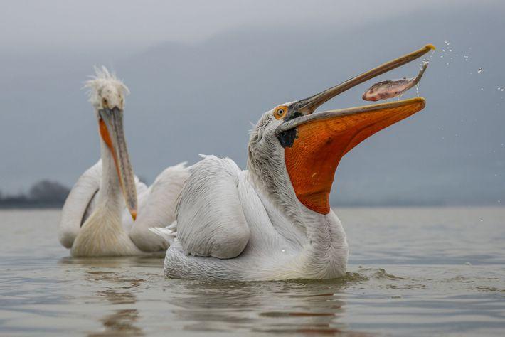 A maior das espécies de pelicanos, o pelicano-crespo é nativo da Europa e da Ásia.